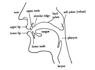 Image result for alveolar ridge diagram